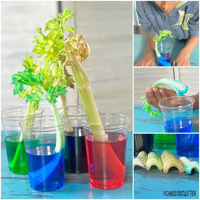 celery stalks in cups of coloured water and changing colour themselves