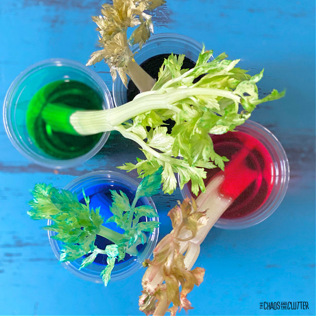 4 cups with a different colour of water in each and one celery stalk in each