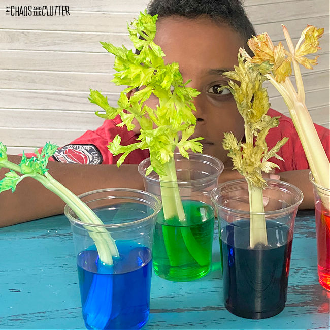 a boy looks at celery stalks in coloured water